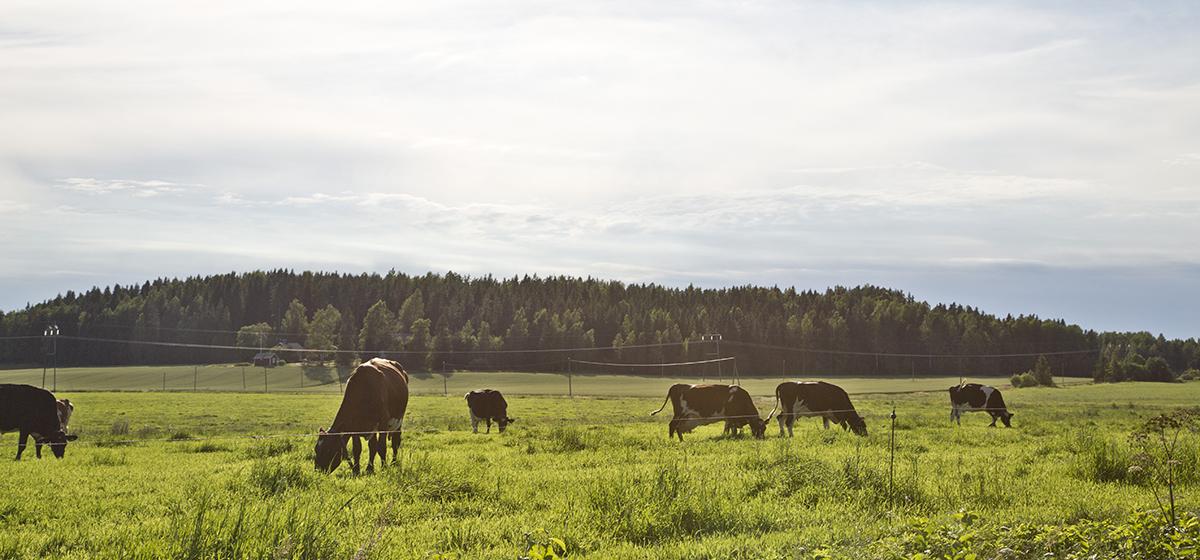 lehmiä laiduntamassa niityllä